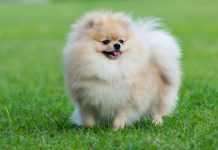 How much does a Pomeranian cost?
