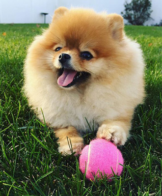 Pomeranian training