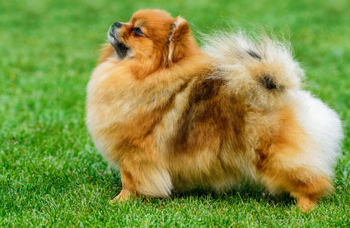 Training for Your Pomeranian Dog