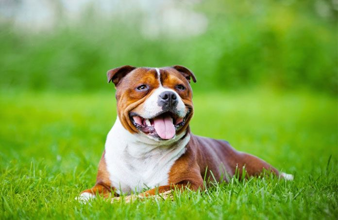 Staffordshire Bull Terriers A Loyal Companion Woof Dog