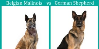 Belgian Malinois vs German Shepherd