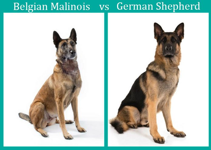 german shepherd belgian malinois malinois vs german shepherd the ultimate comparison 6790