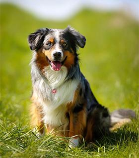 Border Collie on a grass field