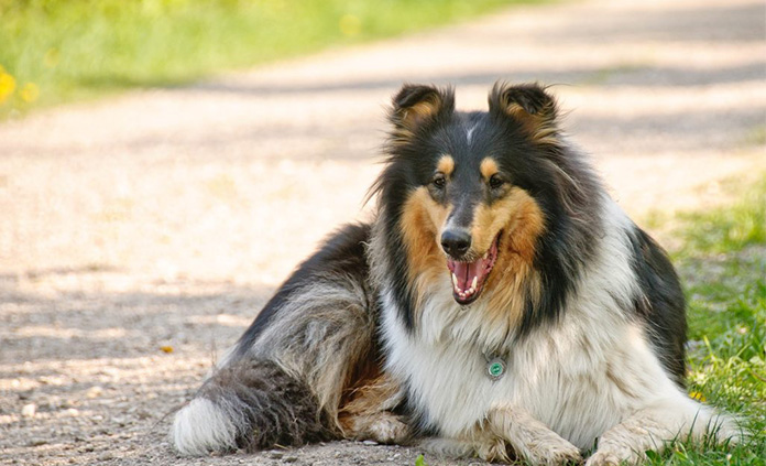 Collie lying on the grass in sun shade