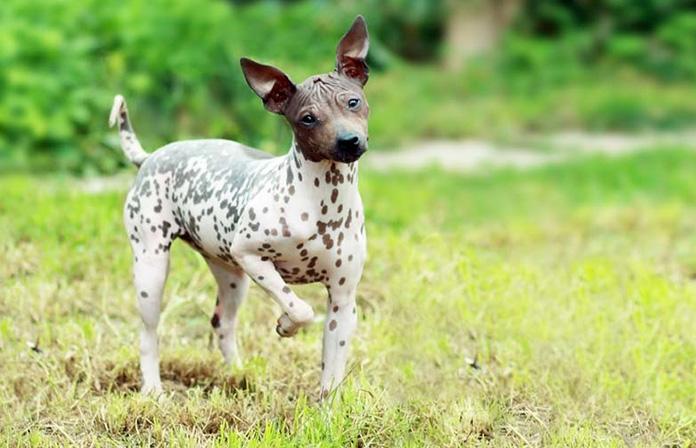 Cute American Hairless Terrier walking