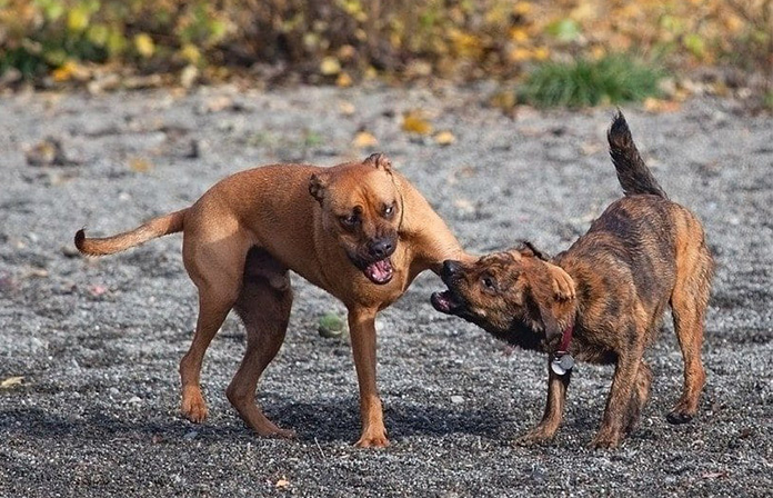 Dog bullies other dog