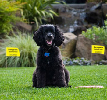 Dog on lawn with training flags