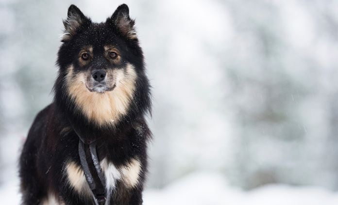 Finnish Lapphund at Snowing day