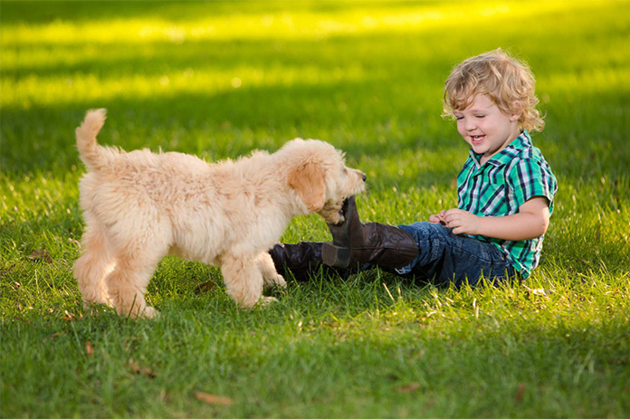 Goldendoodle puppy chews on little boy boot