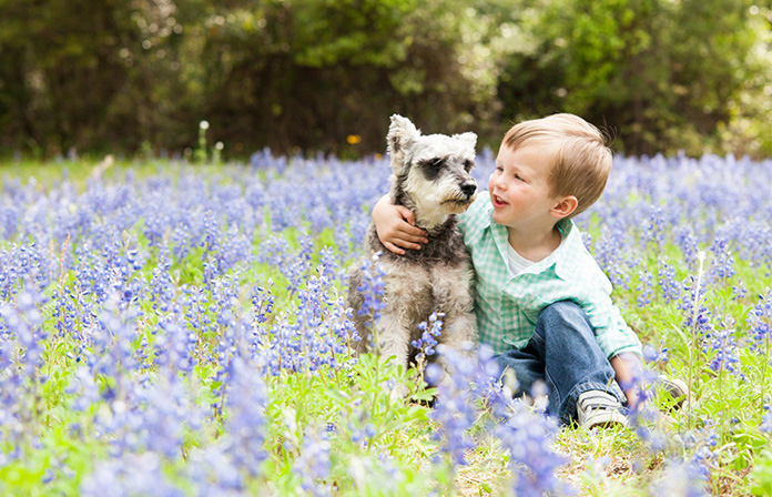 Schnauzer with a boy in lavender field