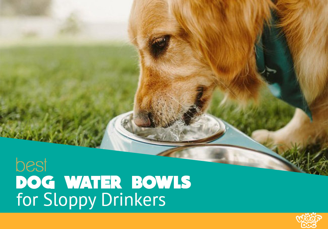 golden retriever drinking from a dog water bowl for sloppy drinkers