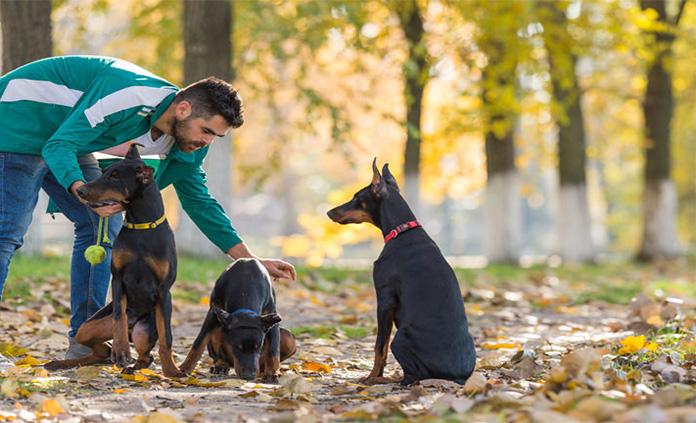 men trainig three Doberman Pinscher dogs