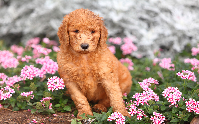 red standard poodle puppy in the garden