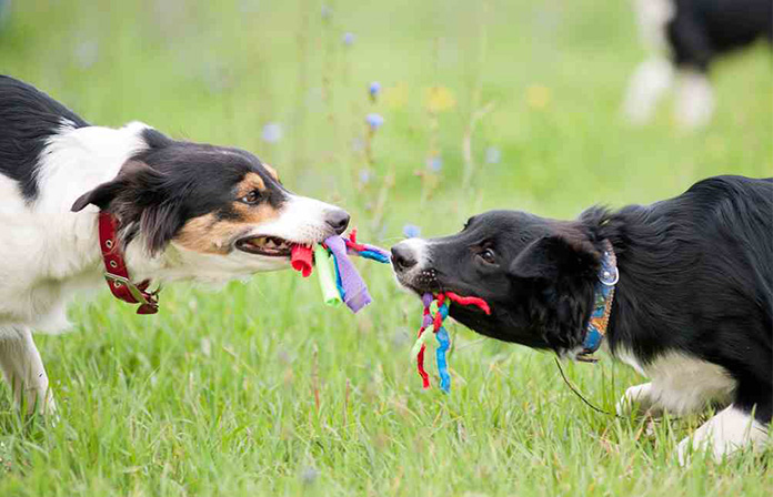 two dogs competing for toy