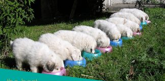10 Puppies Great Pyrenees Eating in a Row