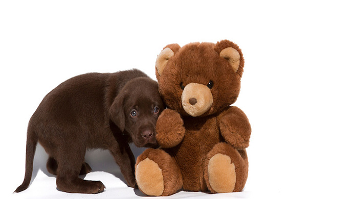 Chocolate Labrador Puppy with Teddy Bear