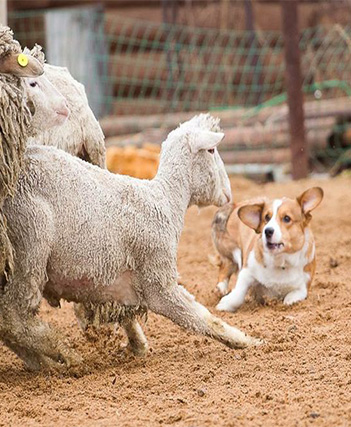 Corgi herding sheep