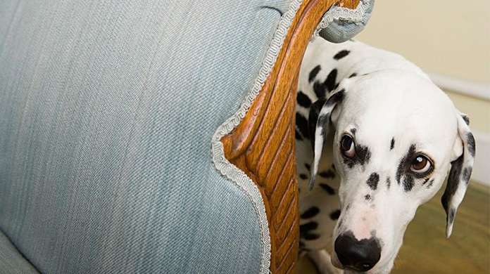 Dalmatian by a chair