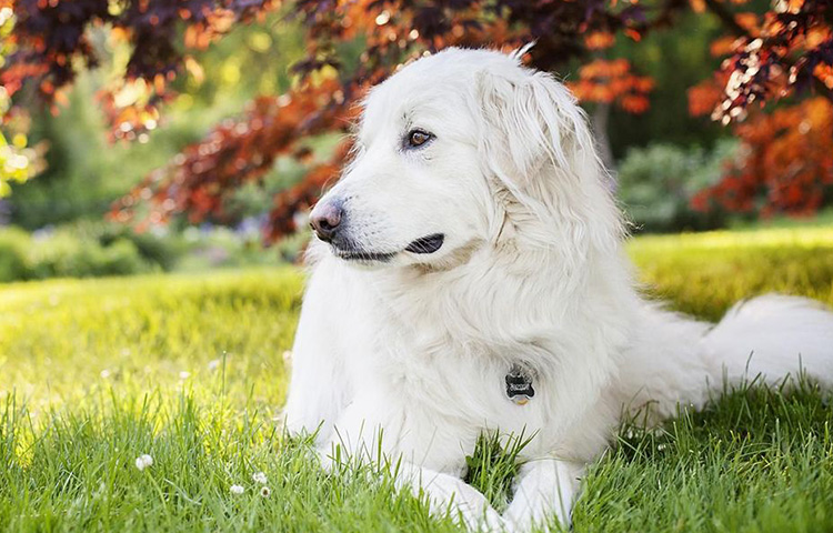 Great Pyrenees dog relaxing on the field under a tree