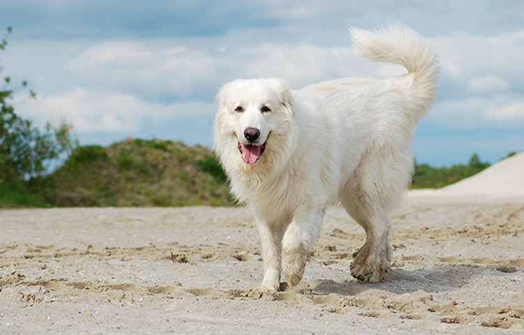 Great Pyrenees on the beach