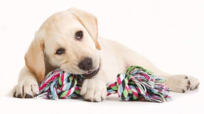 Lab puppy chewing rope toy