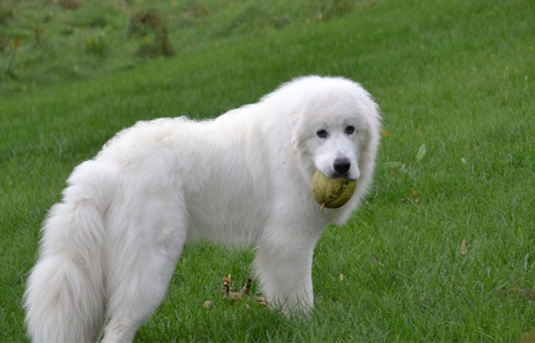 Great Pyrenees Feeding Chart