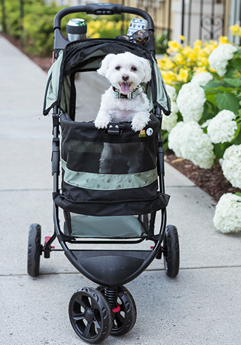 Maltese in pet stroller