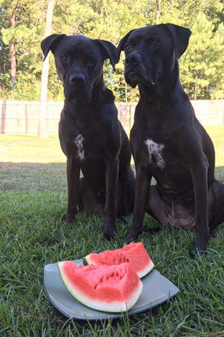 Missy & Buzz Ready For Their Watermelon Slices