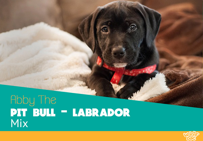 Abby The Pit Bull Labrador Mix Woof Dog