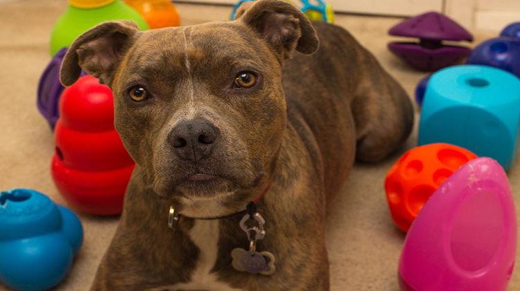 Pit Bull with Toys - Food Dispensers