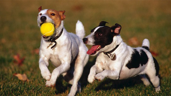 Two Dogs running with ball