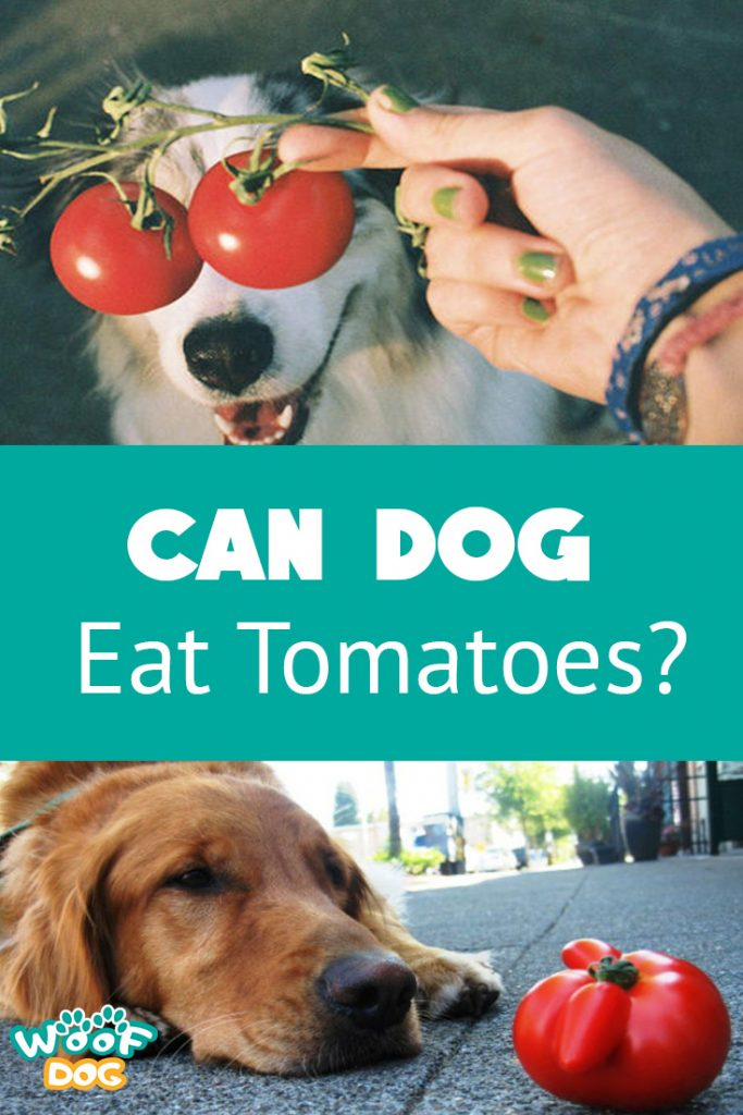 can I give my dog tomatoes?