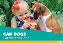 Is watermelon bad for dogs? Featured image showing a child and boxer puppy eating this yummy fruit
