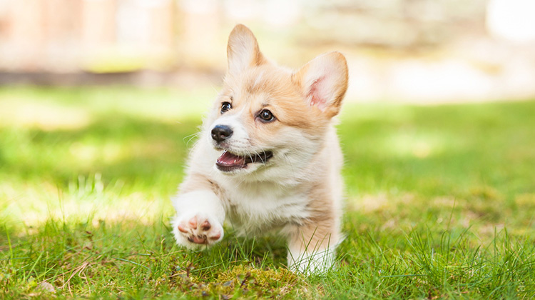 cute corgi on the grass