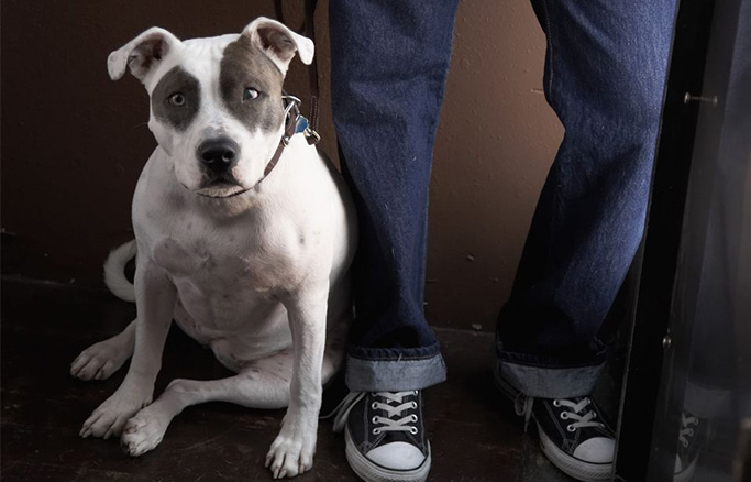 Pitt bull leaning and guarding its owner
