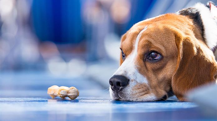 dog looking at treat
