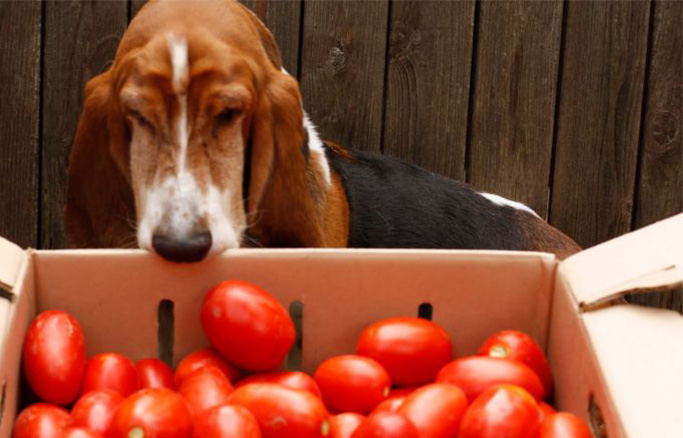 dog looking in box with tomatoes