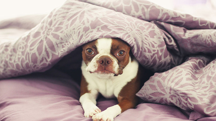 dog lying in bed with purple sheets
