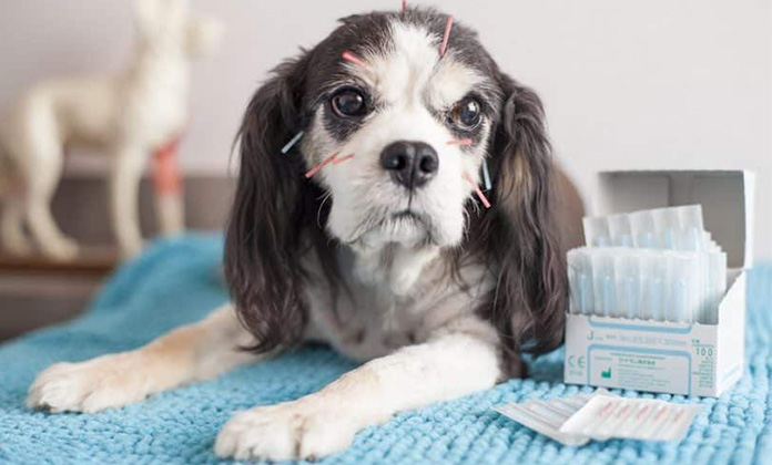 Natural Treatment For Cushing S Disease In Dogs Woof Dog