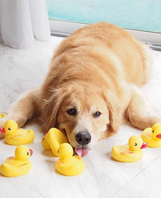 golden retriever with Chewing duck toys
