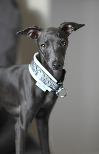 image of young italian greyhound