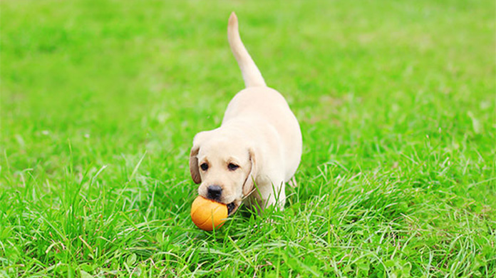 lab puppy playing with orange ball