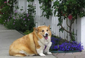 overweight Senior Corgi sitting in the garden