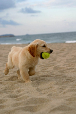 Lab puppy with tennis ball on the beach