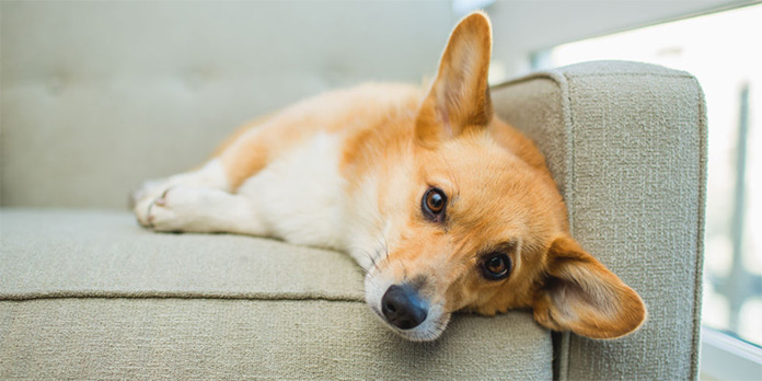 tired corgi lying on the sofa
