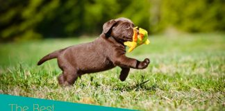toys for Labrador puppies
