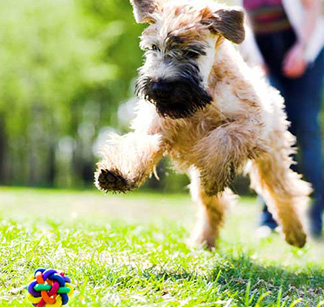 Dog running for toy