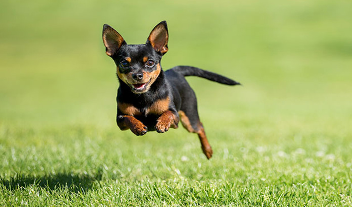 chihuahua running in the field