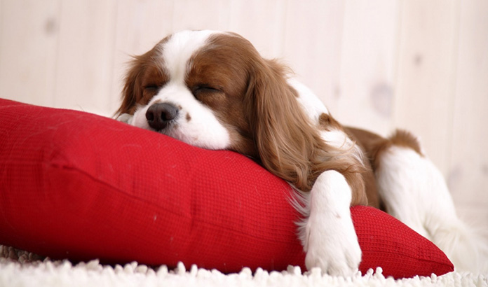 Cavalier King Charles Spaniel sleeping on red pillow