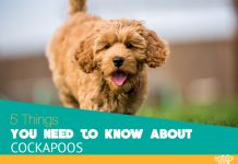5 Things about Cockapoos